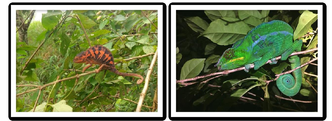 Male & Female Panther Chameleons MRCI Nosy Komba