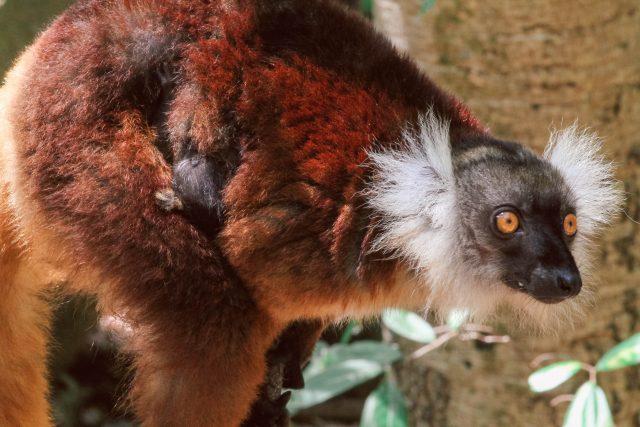 Black Lemurs - Mum&Baby