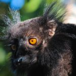 Black Lemurs of Nosy Komba Island