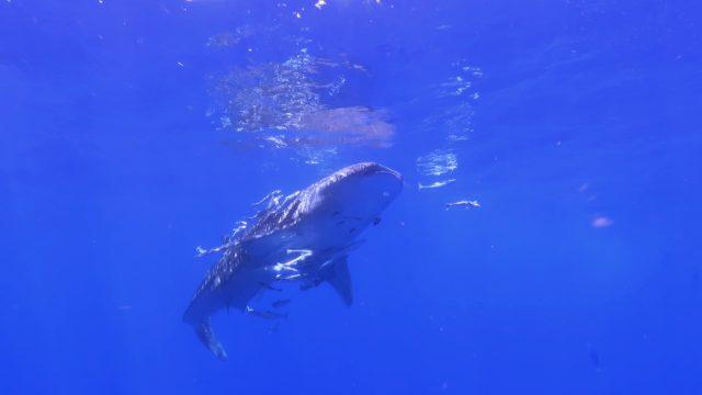 Whale Shark Season 2