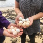volunteers-turtle-eggs