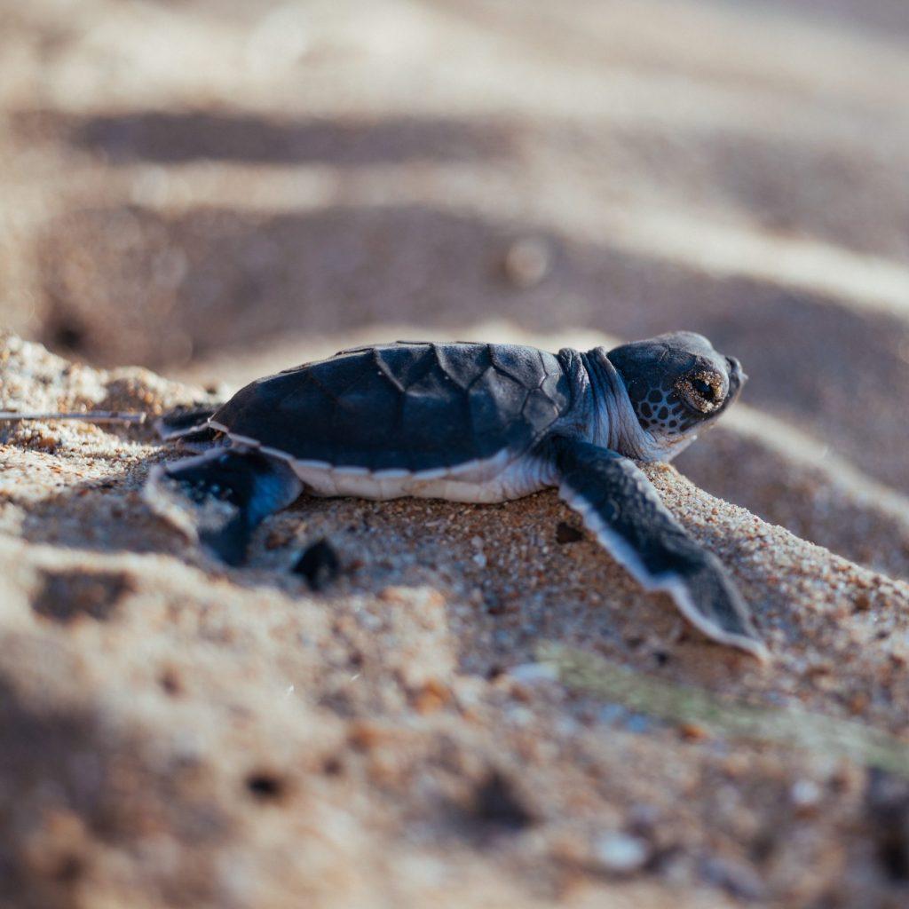 volunteer turtle monitoring mrci hpt