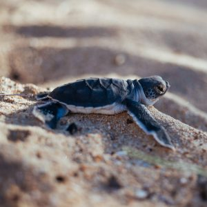 Volunteer Turtle Monitoring
